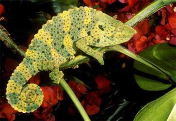 camboja-chameleon1