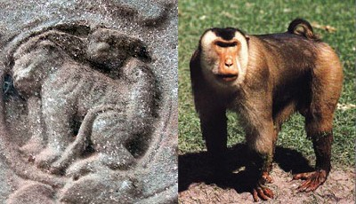 camboja-macaca