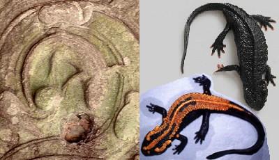 camboja-salamandras